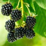Полезные свойства и калорийность ежевики