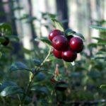 Полезные свойства листьев и ягод брусники