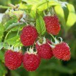 Польза и вред малины